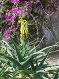 Aloe di fioritura Vera Immagini Stock Libere da Diritti