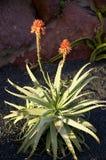 Aloe di fioritura Vera Fotografie Stock