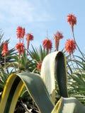 Aloe 2008 di Giaffa Immagine Stock Libera da Diritti