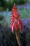 Aloe di Krantz o aloe dei candelabri, pianta medicinale Fotografia Stock
