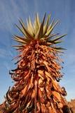 Aloe di Mopane Fotografia Stock Libera da Diritti
