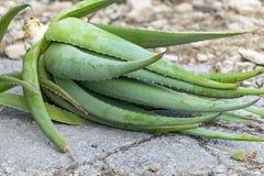 Aloe di recente scavato Vera Medicinal Plant Lying sulla terra pronta per la piantatura nel giardino fotografia stock libera da diritti