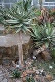 Aloe dichotoma - Köcherbaum, Aloe Vera. Aloe dichotoma, botanical garden, sightseeing tour in africa Stock Images