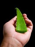 Aloe a disposizione Fotografia Stock Libera da Diritti