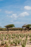 Aloe and Divi-Divi Tree. Aloe plants being cultivated in a field on Aruba Royalty Free Stock Photography