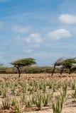Aloe e Divi-Divi Tree Fotografia Stock Libera da Diritti