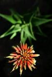 Aloe e fiore Immagini Stock Libere da Diritti