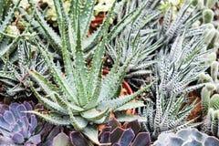 Aloe e haworthia nel giardino Fotografie Stock