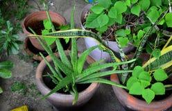 Aloe e l'altra pianta in giardino alla casa Immagine Stock