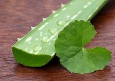 Aloe e thankuni medicinali Fotografia Stock Libera da Diritti