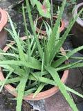 Aloe för aloe vera eller brännskadaeller första hjälpenväxt Arkivbild