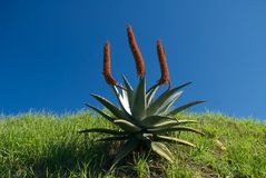 Aloe Ferox Stock Photo