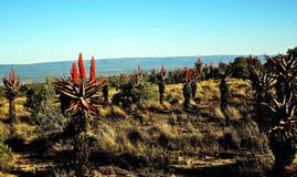Aloe Ferox Fotografie Stock Libere da Diritti