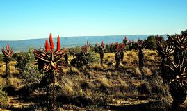 Aloe Ferox. These aloes are abundant in parts of South Africa's Eastern Cape province and elsewhere. They are harvested and used for the manufacture of a wide Royalty Free Stock Photos