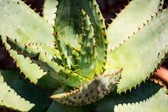 Aloe ferox variety plant Stock Photo
