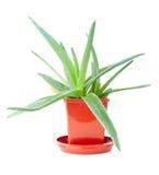 Aloe fertile vera nel vaso isolato Immagine Stock Libera da Diritti