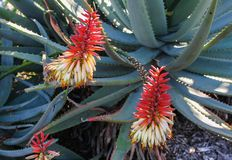 Aloe in fioritura con i fiori rossi e bianchi e le spine rosse lungo le foglie verdi - fuoco selettivo immagini stock