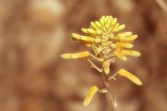 Aloe flower in garden Stock Images