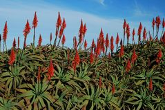 Aloe flowers on blue sky background Stock Photo