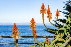 Aloe flowers on the Pacific Ocean shoreline, Pacific Grove, Monterey bay area, California stock photography