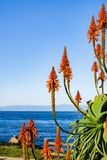 Aloe flowers on the Pacific Ocean shoreline, Pacific Grove, Monterey bay area, California stock image