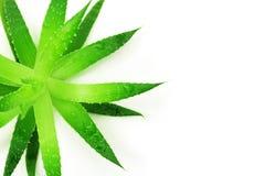 Aloe a forma di stella Fotografie Stock Libere da Diritti