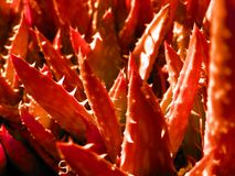 Aloe forrest in red Stock Photos