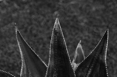 Aloe framförde den svarta bilden för begreppet 3d white Arkivfoton
