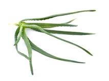 Aloe fresco Immagini Stock