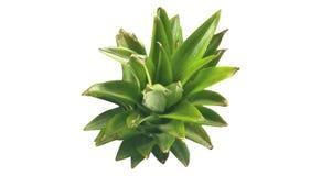 Aloe fresh leafs stock photos