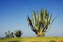 Aloe gegen den Himmel Stockfotografie