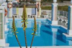 Aloe giallo vera davanti ad uno stagno blu Fotografie Stock Libere da Diritti