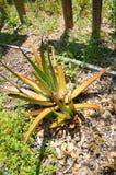 Aloe giallo vera in Florida Fotografie Stock