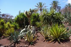 Aloe in giardino botanico nell'isola di Fuerteventura Immagini Stock