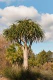 Aloe gigante dell'albero Fotografie Stock Libere da Diritti