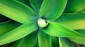 Aloe. Green nature plant web Royalty Free Stock Image