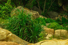 Aloe growing in the rocks. Lush green aloe growing in the rocks Stock Photo