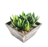 Aloe house plant in a pot, isolated Royalty Free Stock Images