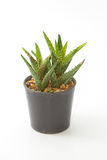 Aloe house plant in a pot, isolated Stock Image