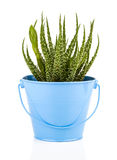 Aloe humilis is a species of the genus Aloe Royalty Free Stock Photography