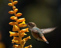 Aloe hummingbird Stock Images