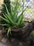 Aloe i en stubbe arkivfoto