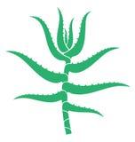 Aloe Stock Photo