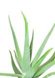 Aloe Isolated On White