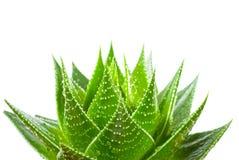 Aloe Isolated On White Background Royalty Free Stock Photography