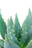 Aloe Stock Image