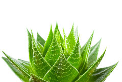 Aloe isolated on white background Royalty Free Stock Photography