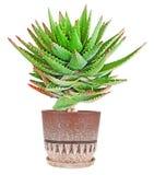 Aloe isolato su bianco Fotografia Stock Libera da Diritti