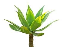 Aloe isolato su bianco Fotografia Stock