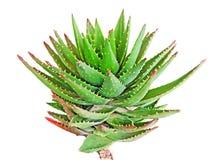 Aloe isolato su bianco Fotografie Stock Libere da Diritti